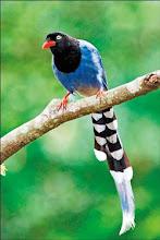 Photo: 台灣藍鵲