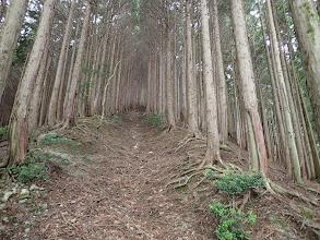 灌木を抜けると植林のよい道に