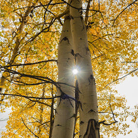 Aspen & Sun by John Shelton - Nature Up Close Trees & Bushes ( colorado, trees, yellow, sunlight, aspen,  )