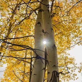 Aspen & Sun by John Shelton - Nature Up Close Trees & Bushes ( colorado, trees, yellow, sunlight, aspen,  )