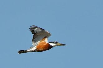 Photo: Ringed Kingfisher (Rotbrustfischer), male; Laguna San Felipe, PUE