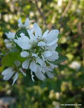 Photo: Sierra plum, Prunus subcordata