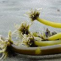 Sea palm