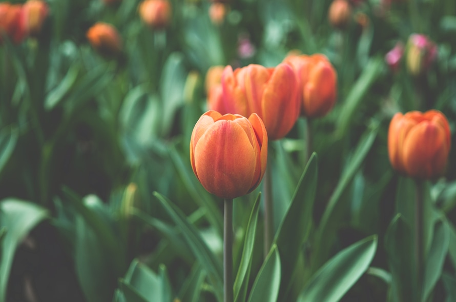 Be timeless: orange tulips in a green field.