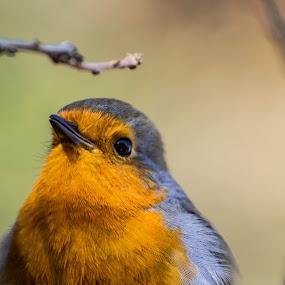 Robin by Simon Wood - Animals Birds ( canon, bird, robin, uk, eos, nature, cute, songbird, woods, close )
