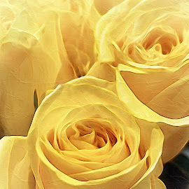 yellow roses by Rosemary Gamburg - Flowers Flower Arangements ( #yellow #roses #pastel #flowers #yellowroses )