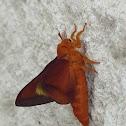 Southern Pink-striped Oak Worm Moth