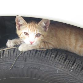 by Geraldine Angove - Animals - Cats Kittens