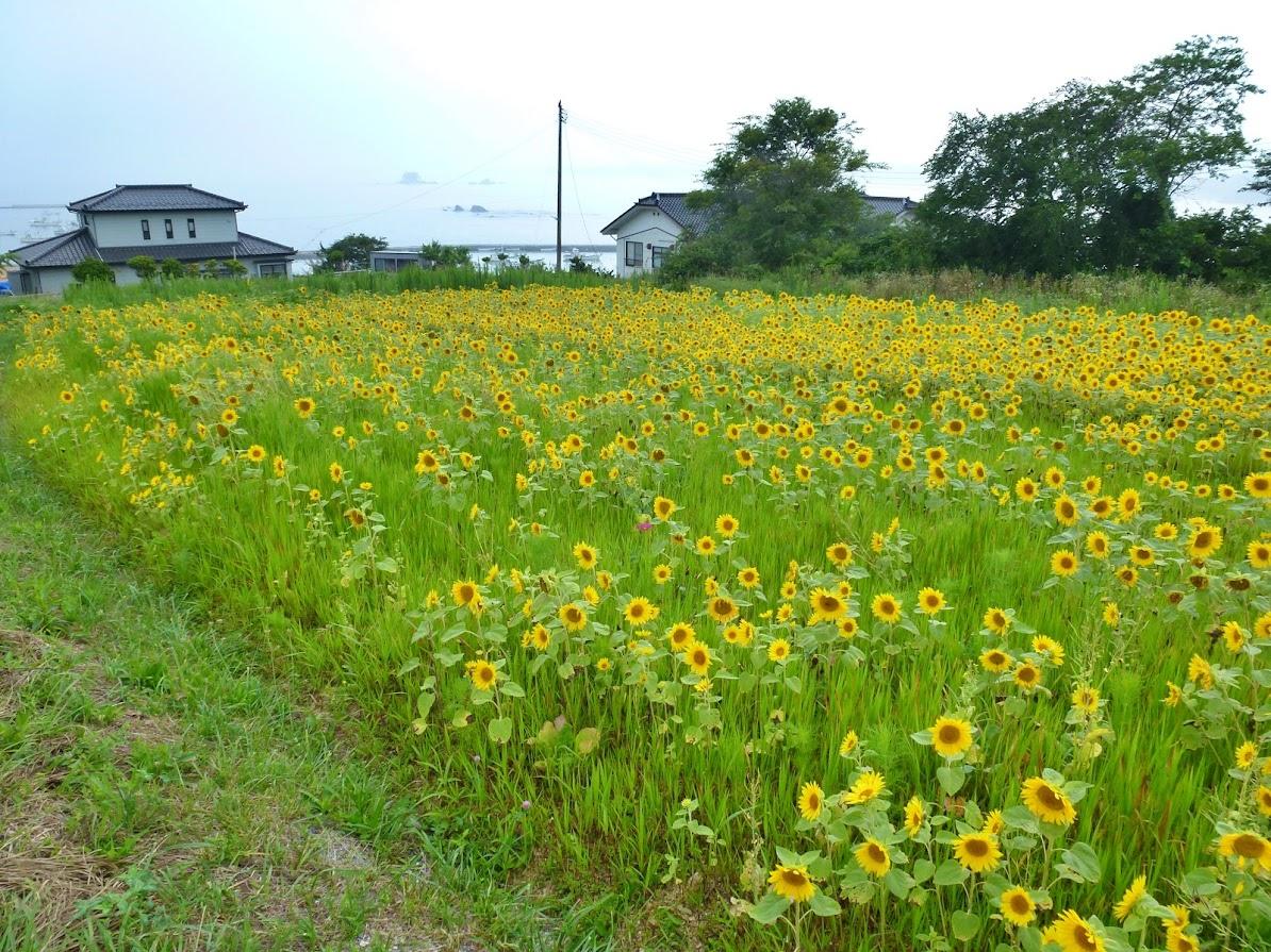 歌津泊浜のひまわり畑 写真14