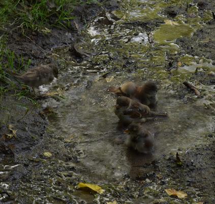 Uccellini fanno il bagno di francesca_vigolo