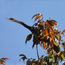 Photo: anhinga singing (not on farm, but nearby) photo by Chris Adams