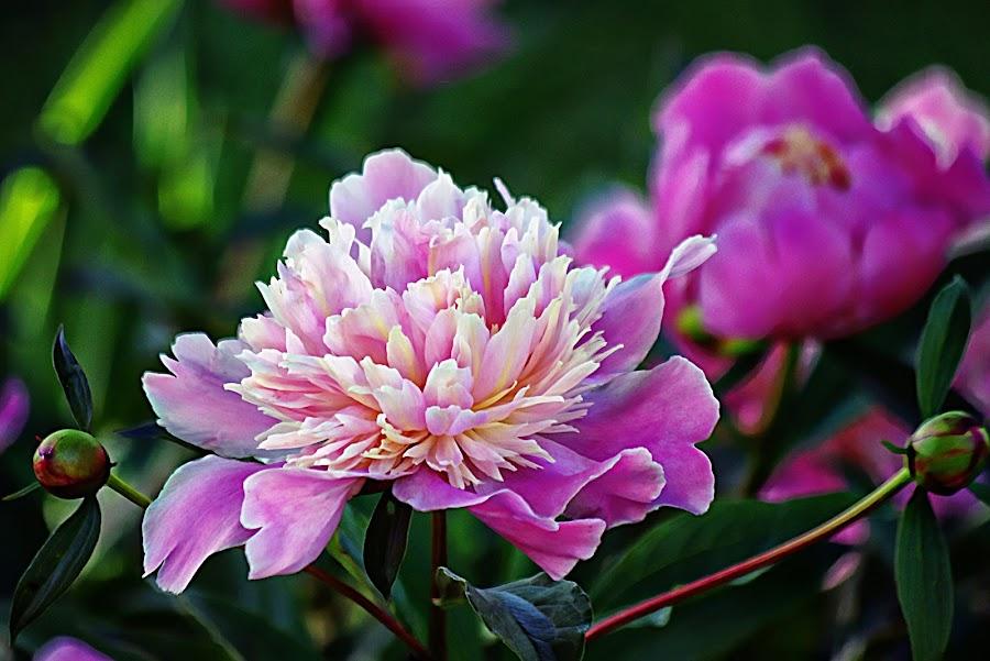 by Karen McKenzie McAdoo - Flowers Flower Gardens