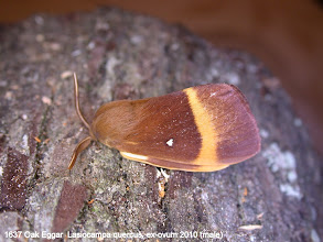 Photo: Male Oak Eggar
