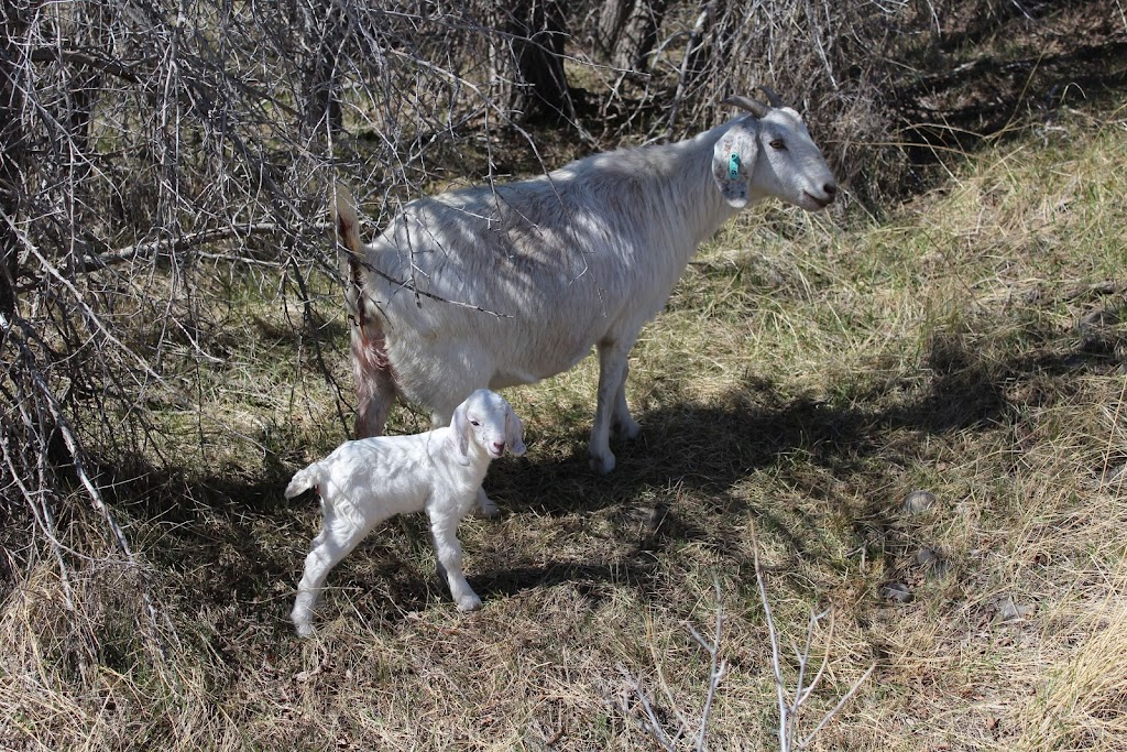 extension/meat-goat-production-in-cold-climates