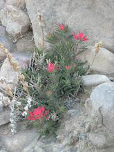 Photo: Castilleja chromosa