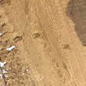 White tailed deer tracks