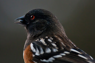 Photo: Towhee eating sunflower seed