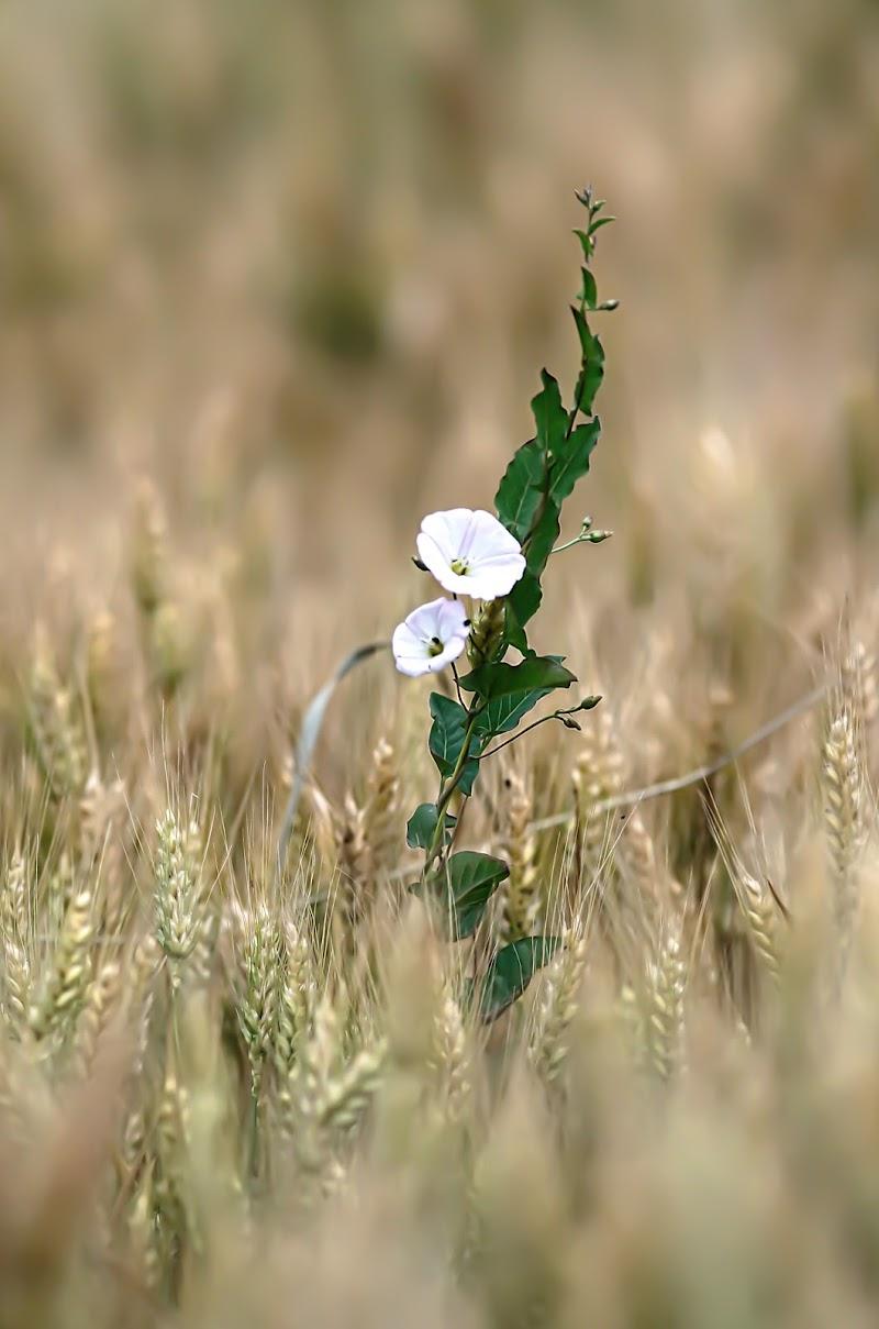 Nel campo di grano.... di Fotodiale