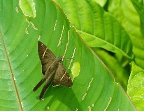 Photo: Brown Moth