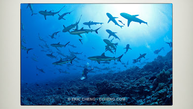 Photo: Huge schools of gray reef sharks. Last place on the planet with this. French Polynesia