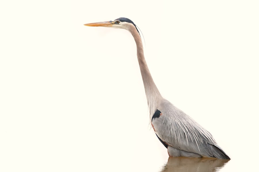Heron by Patrick Morgan - Animals Birds ( bird, water, nature, grey heron, wildlife, heron )