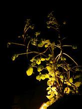 Photo: Diesen Holunderbusch dürfte es eigentlich nicht geben! 7 Monate völlige Dunkelheit in der Höhle und im Sommer nur immer wenige Minuten Scheinwerferlicht bei Besichtigungen....