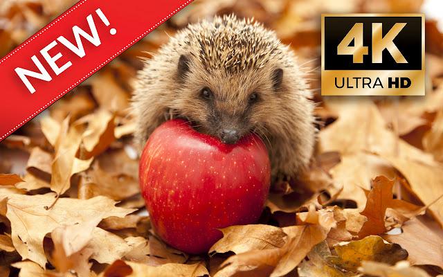 Hedgehogs HD Wallpapers - Custom New Tab