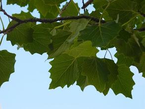 Photo: Haz de las hojas de álamo blanco