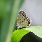 Pale Grass Blue