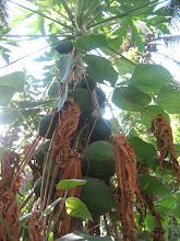 Photo: Papaya local variety