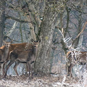 Family portrait by Adrian LUPSAN - Animals Other ( animals, carphatian, winter, family, trees, forest, stag, deer,  )