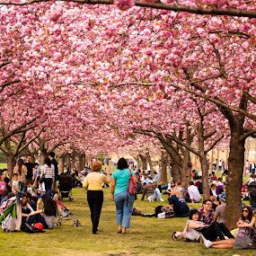 Cherry Blossoms, Brooklyn Botanical Gardens by Sandeep Kochar - Nature Up Close Flowers - 2011-2013 ( hanami, new york city, brooklyn botanical gardens, garden, brooklyn, cherry blossoms )