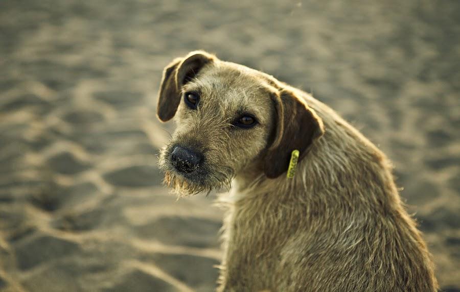 by Murat Ozcelik - Animals - Dogs Portraits
