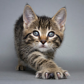 Crumpet by Eric Christensen - Animals - Cats Kittens ( kitten, stretch, rescue, tabby, eyes )