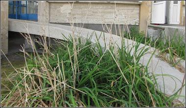 Photo: Crini galbeni (Hemerocallis fulva) - din Turda, Str. Andrei Muresanu, spatiu verde - 2019.09.09