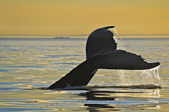 Photo: #PhotoStorySaturday   Today I want to show you one of my favorite pictures of a humpback whale fluke during a golden sunset in the Strait of Belle Isle off the Newfoundland Labrador coast.  I want to contribute it to a few themes but first of all to #PhotoStorySaturday by +Dave Beckerman.  The story behind this pictures is worth mentioning, I for sure will never forget this adventure. I actually was in Newfoundland to photograph two things, icebergs and whales and of course in the combi. I was based on the Northern Peninsula, which is away from the big city lights. Actually it is the place where you still get the real Newfy feeling, everybody is relaxed and time seems to stand still. Well, also because of this it is not that easy just to go out, rent a boat and go. With a good friend of mine, the owner of Tuckamore Lodge, I was able to get a old friend of her to take me out. So far so good, when I arrived in the little community from which we left he was already waiting for me on the dock. I was a little shocked at first when he showed me proudly his boat, it was a very small old wooden fishing boat with a 50 horsepower engine on the back, just enough space for maybe 2-3 people.  I knew I don't have a big choice, thats just the way life is up in that area. So after wrapping my gear into blankets to keep the salt water out (I did not take any water proof canisters with me) we made our way out in the big Atlantic Ocean in the search of humpback whales and iceberg. We found both and I also got the images I was after, a whale with an iceberg in the background. But shortly after I got those shots the engine quit.  Kind of a scary moment when you out in the Atlantic Ocean, a couple miles offshore, no radio and no other boats around. No big deal said my skipper and started to tear the engine apart. I must say I did not feel very comfortable at this moment. We drifted further and further and after almost 45 min. the engine was still not going but we were getting very