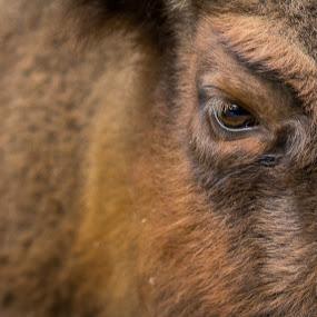 Bully by Aditya Kusuma - Animals Other Mammals ( wild, america, american, fur, wildlife, brown, bull, mammal, animal )