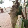 Bag Worm Moth
