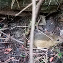 Pacific jumping mouse
