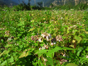 Photo: 連綿一個月的雨,是不是已經對蕎麥的開花授粉造成傷害呢?密切觀察中。