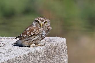 Photo: Little Owl