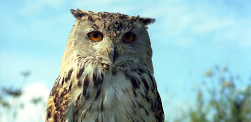 Owl Sounds - Apps on Google Play