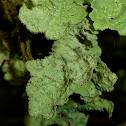 Norwegian Ragged Lichen