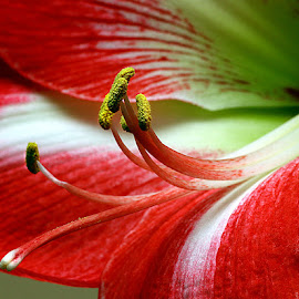 Amaryllis centre by Chrissie Barrow - Flowers Single Flower ( single, macro, stigma, closeup, stamens, amaryllis, flower )