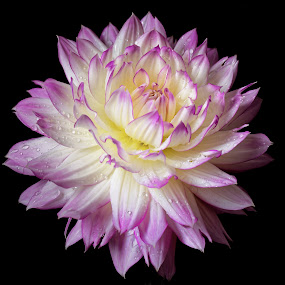 Dahlia on black by Michaela Firešová - Flowers Single Flower ( black background, purple, white, dahlia, flower )