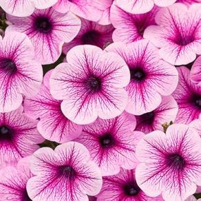 Supertunia® Mini Rose Veined - Petunia hybrid
