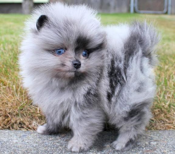 Harga anjing Pomeranian & Mini Pom. Harga jual beli anakan Pom di Indonesia