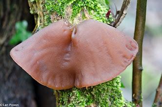 Photo: Jelly Ear fungus