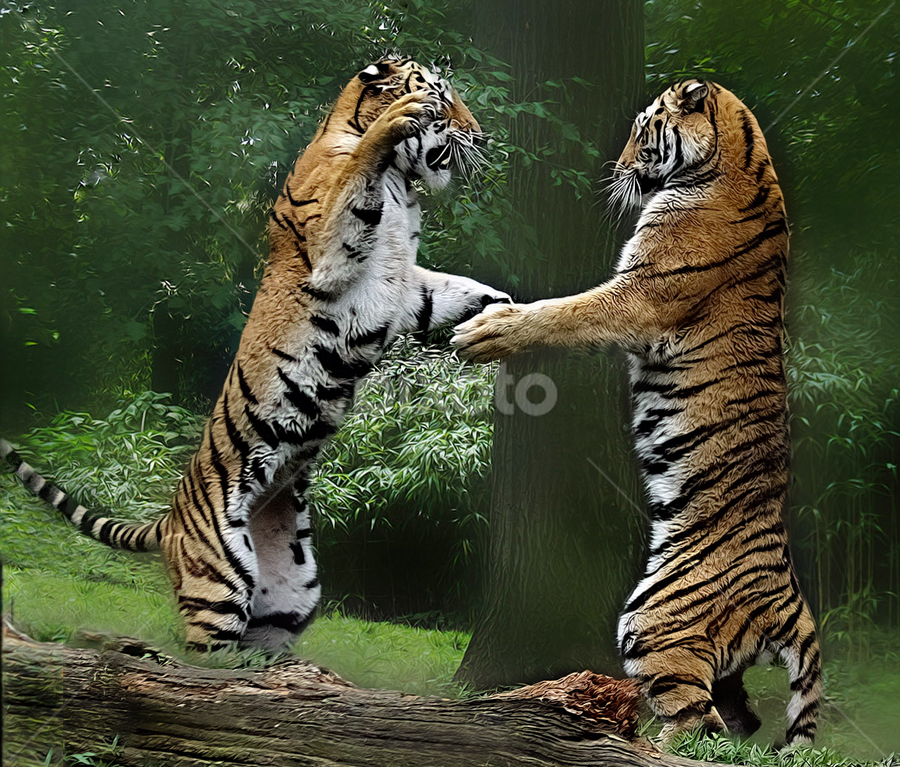 Sparring Partners by John Larson - Animals Lions, Tigers & Big Cats ( animal play fighting, big cats, amur tiger, pwcmovinganimals, larson, rare tigers,  )