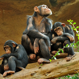 Family by Tomasz Budziak - Animals Other Mammals ( monkey, animals,  )
